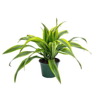 "Dracaena Lemon Lime  4"" Grower Pot - Geoponics Inc"