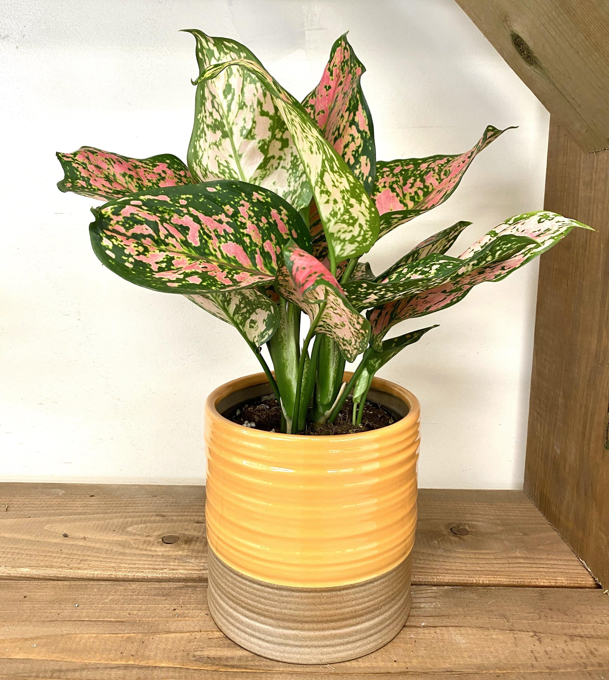 "5"" Aglaonema Red Valentine - Geoponics Inc"