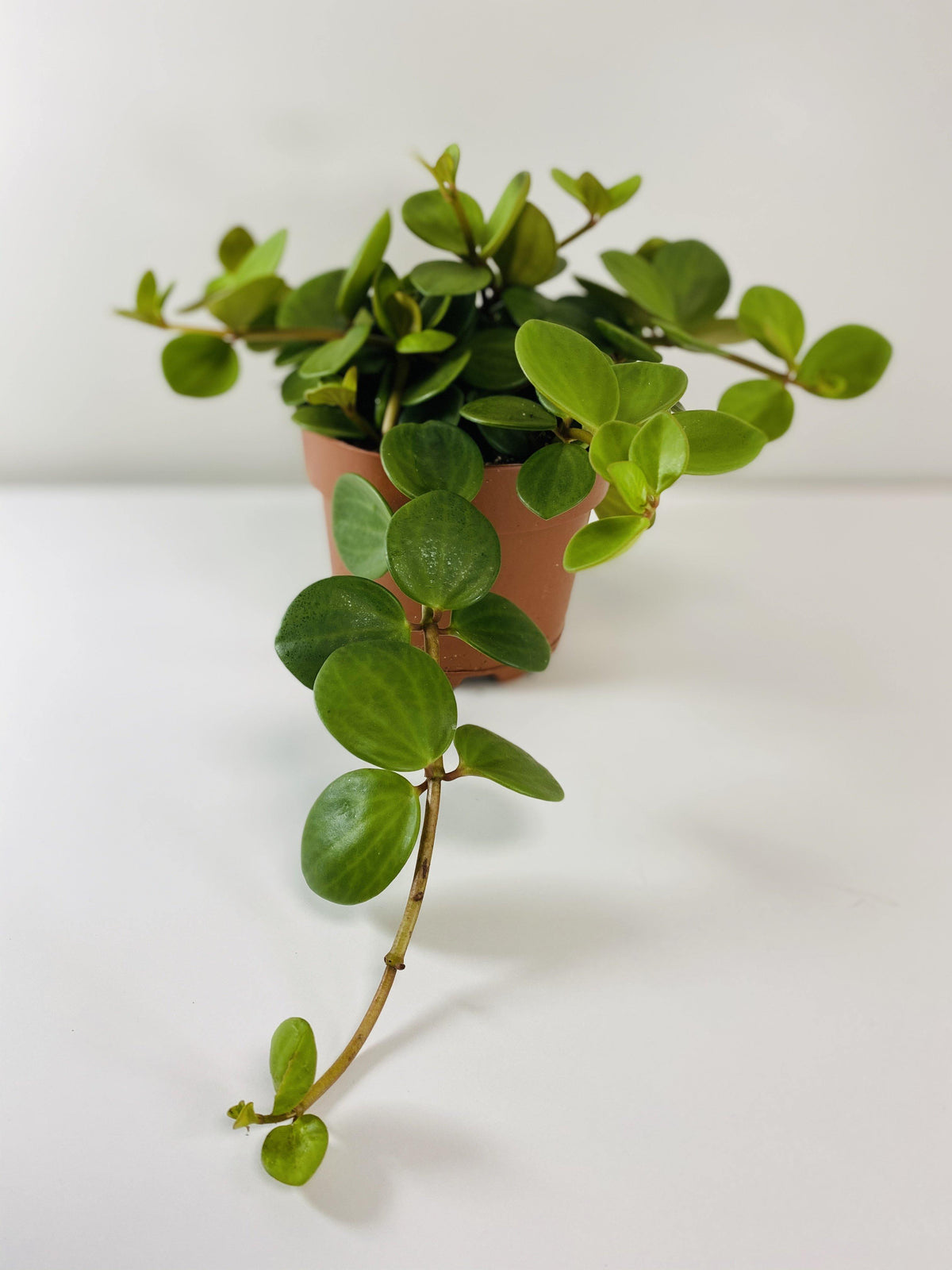 Peperomia Hope (Grower Pot) - Geoponics Inc