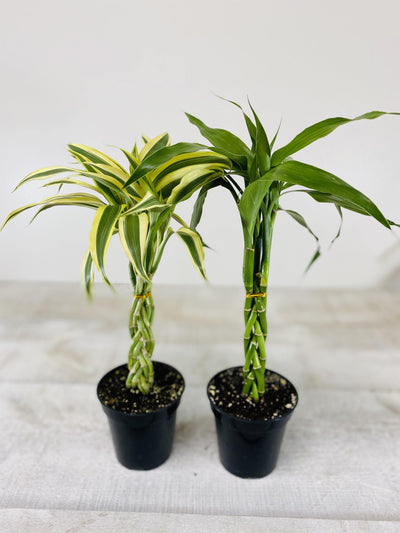 "4"" Lucky Bamboo Cobra Mini ( assorted) (Grower Pot) - Plant Club 
