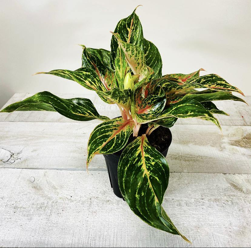 "6"" Chinese Evergreen Assorted - Geoponics Inc"
