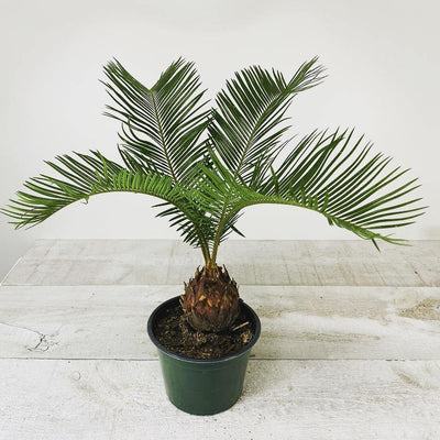 "6"" King Sago Palm ( Grower Pot) - Geoponics Inc"