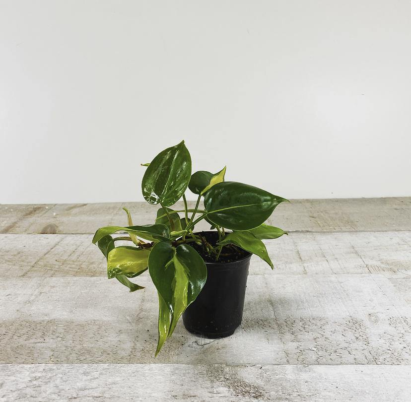 "3.5"" Philodendron Brasil ( Grower Pot)"