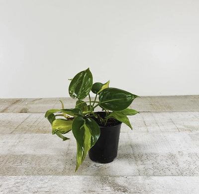 "3.5"" Philodendron Brasil ( Grower Pot) - Plant Club 