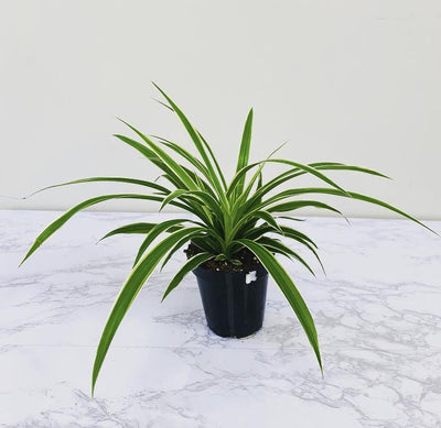 "3.5"" Spider Plant Variegated Ocean ( Grower Pot) - Plant Club 