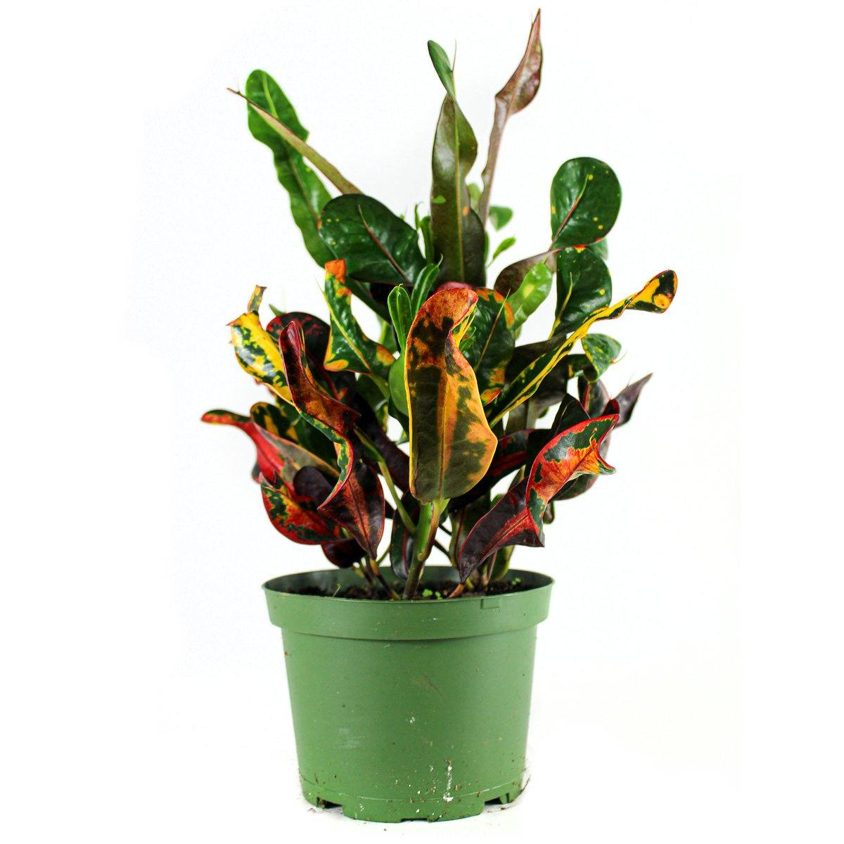 "Croton (3.5"" / 6"" / 10"" Grower Pots) - Geoponics Inc"