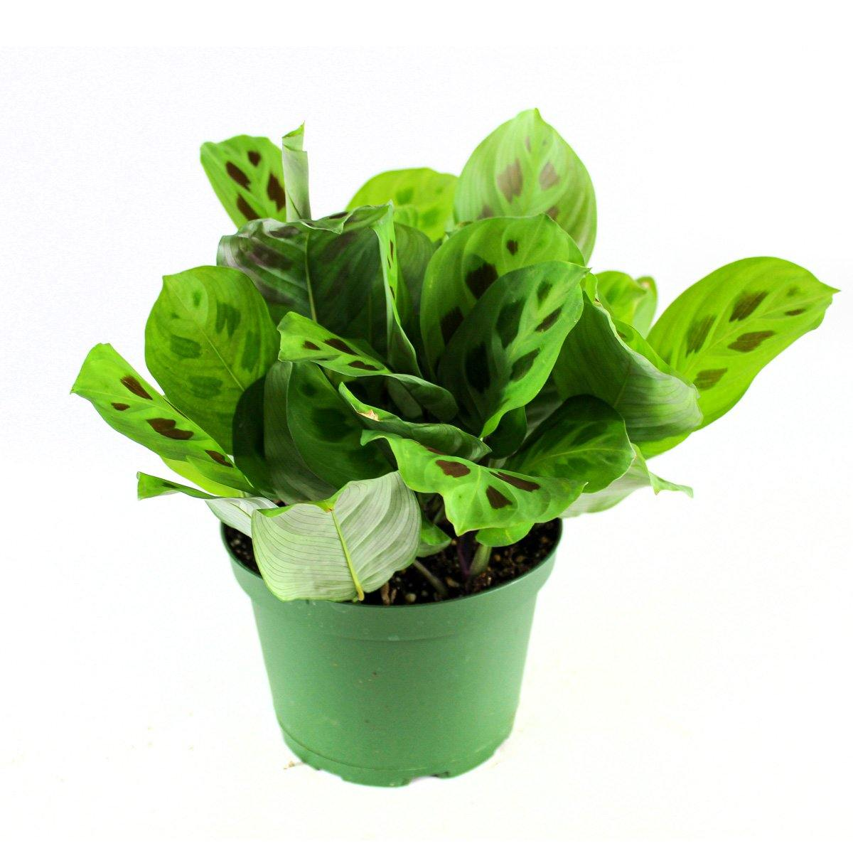 Prayer Plant (Foliage Green leaves) - Geoponics Inc