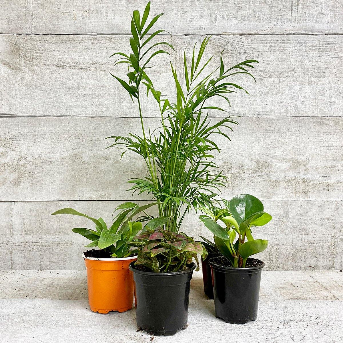 PET-FRIENDLY HOUSEPLANT BUNDLE (5-PACK ASSORTED) - Geoponics Inc