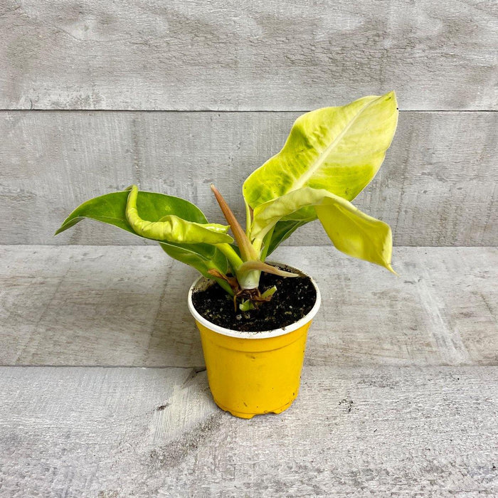 "4"" Philodendron Moonlight (Prince of Orange)"