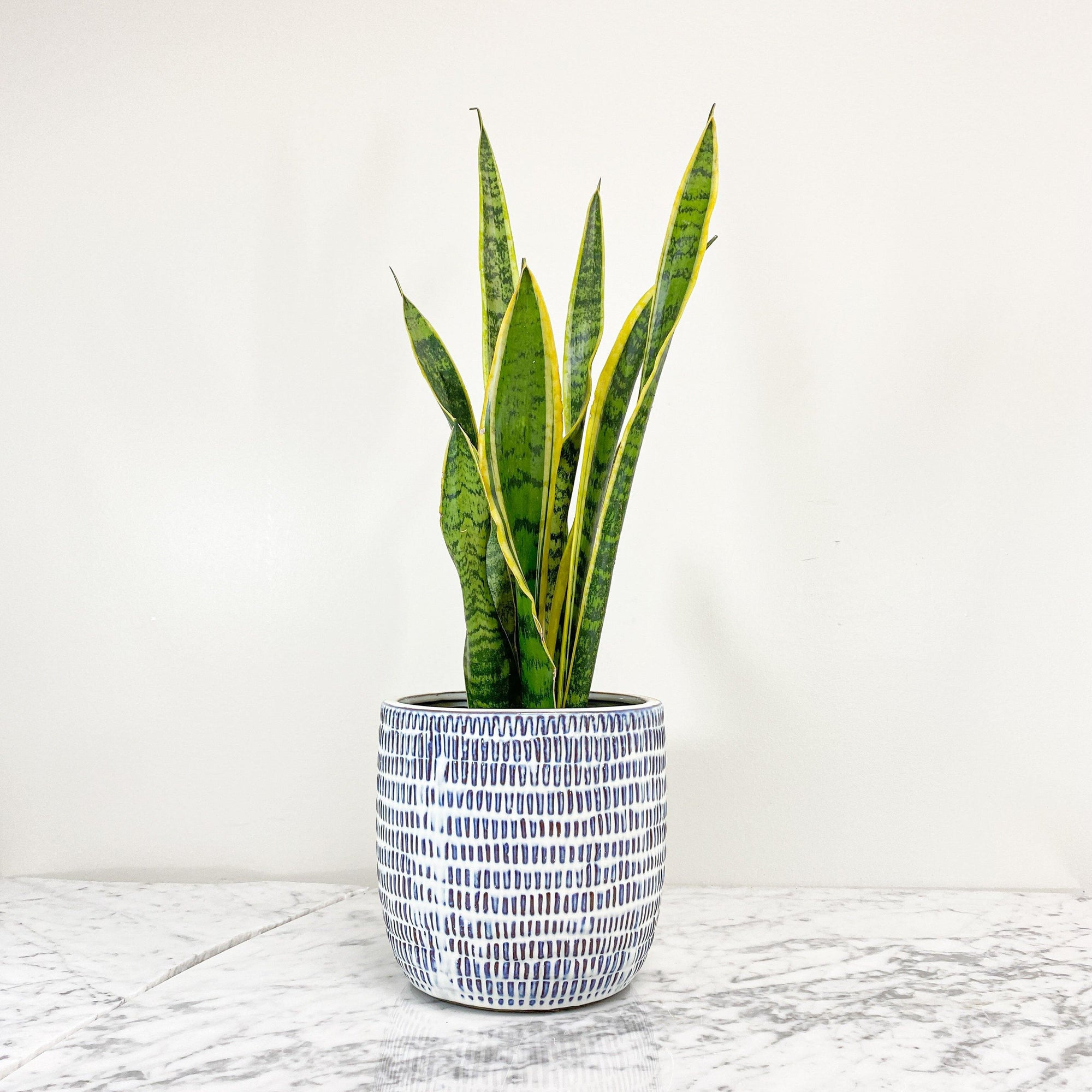 "Snake Plant (Sensiveria aka Mother In Law Tongue) (3.5 "" / 5"" / 6"" / 10"" Grower Pots) - Geoponics Inc"