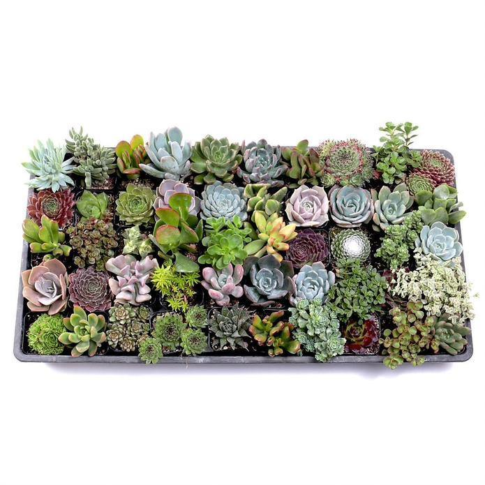 "2.25"" Plant Baby Succulents tray (assorted)"