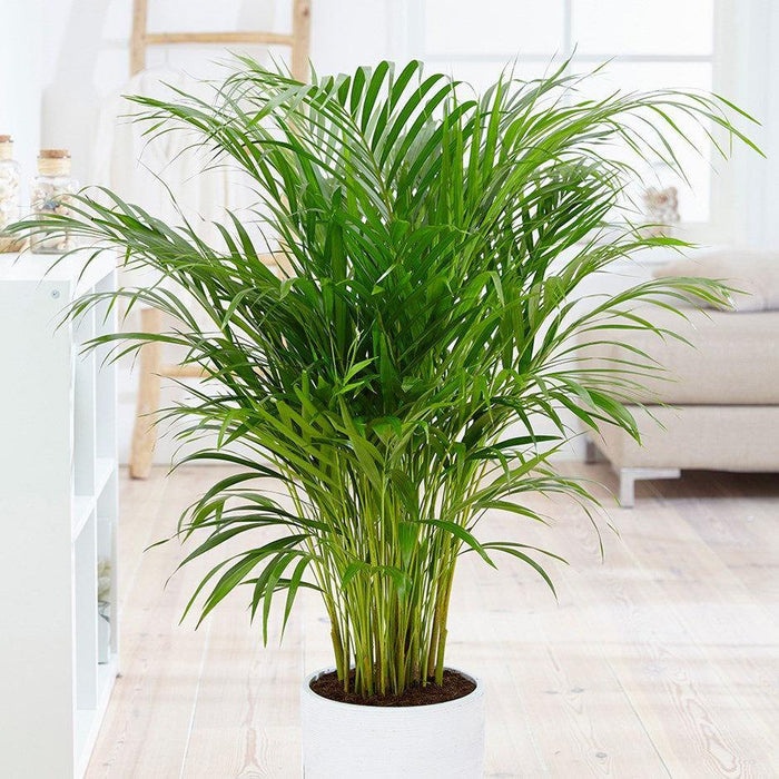 areca air purifying plants