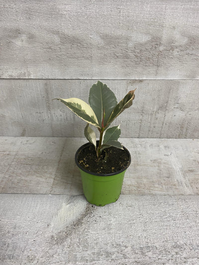 "4"" Ficus Rubber Plant Variegated (Grower Pot) - Plant Club 