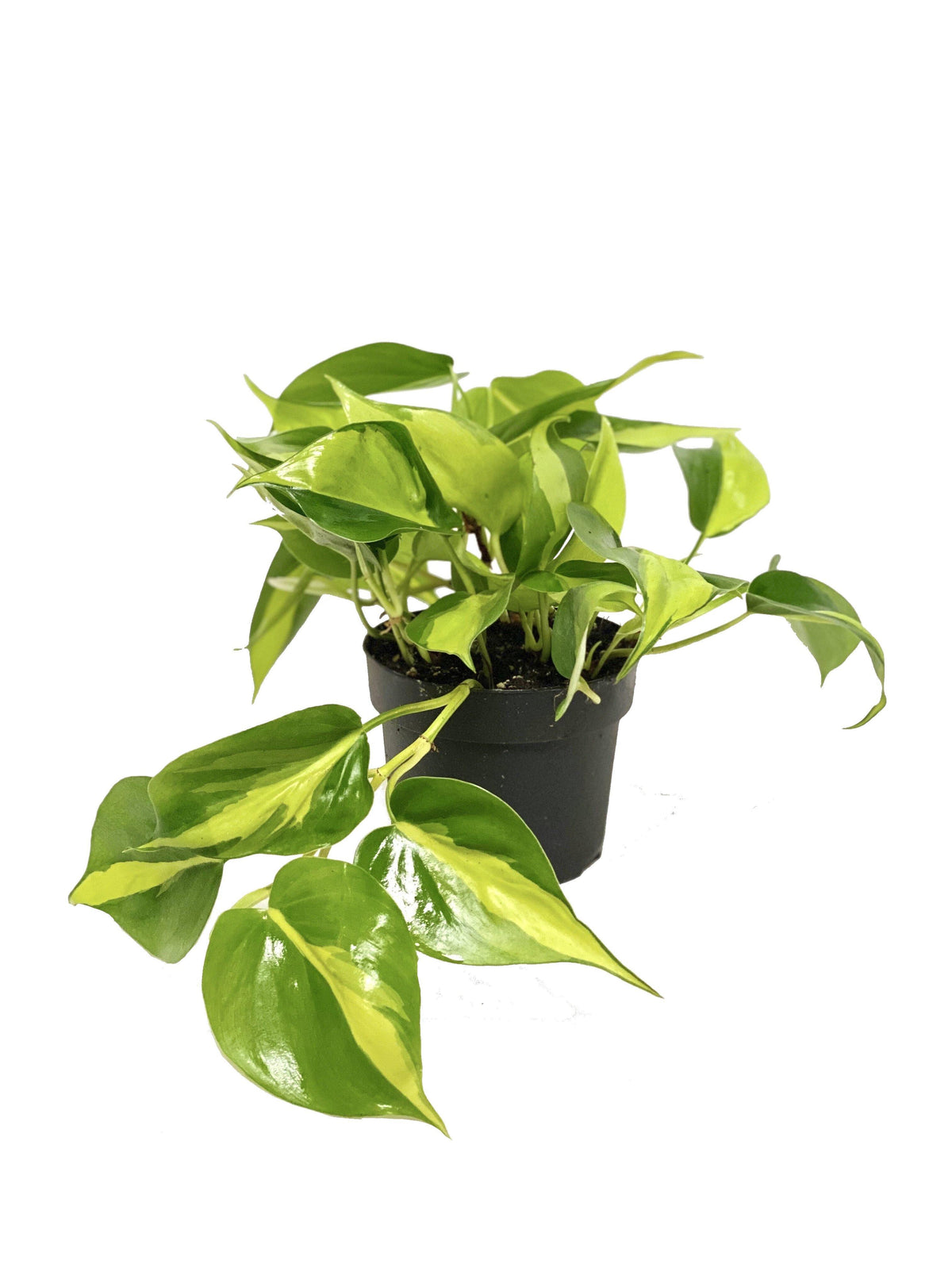 Philodendron Brazil - Geoponics Inc