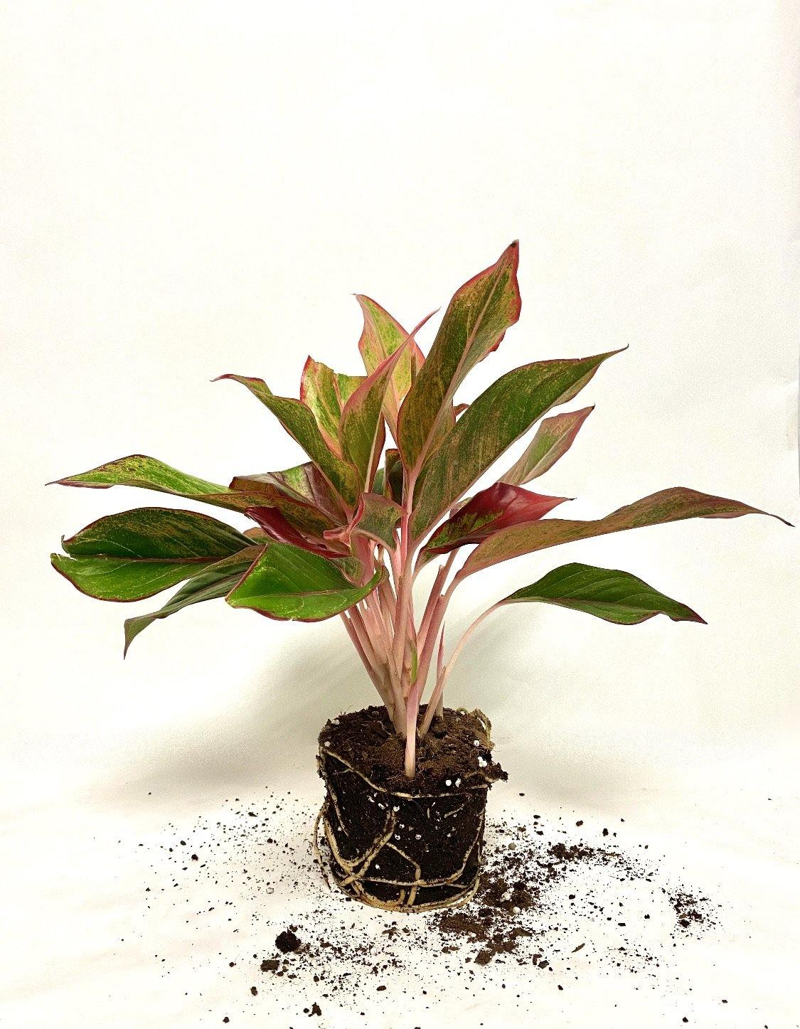 "5"" Aglaonema Red Siam - Geoponics Inc"