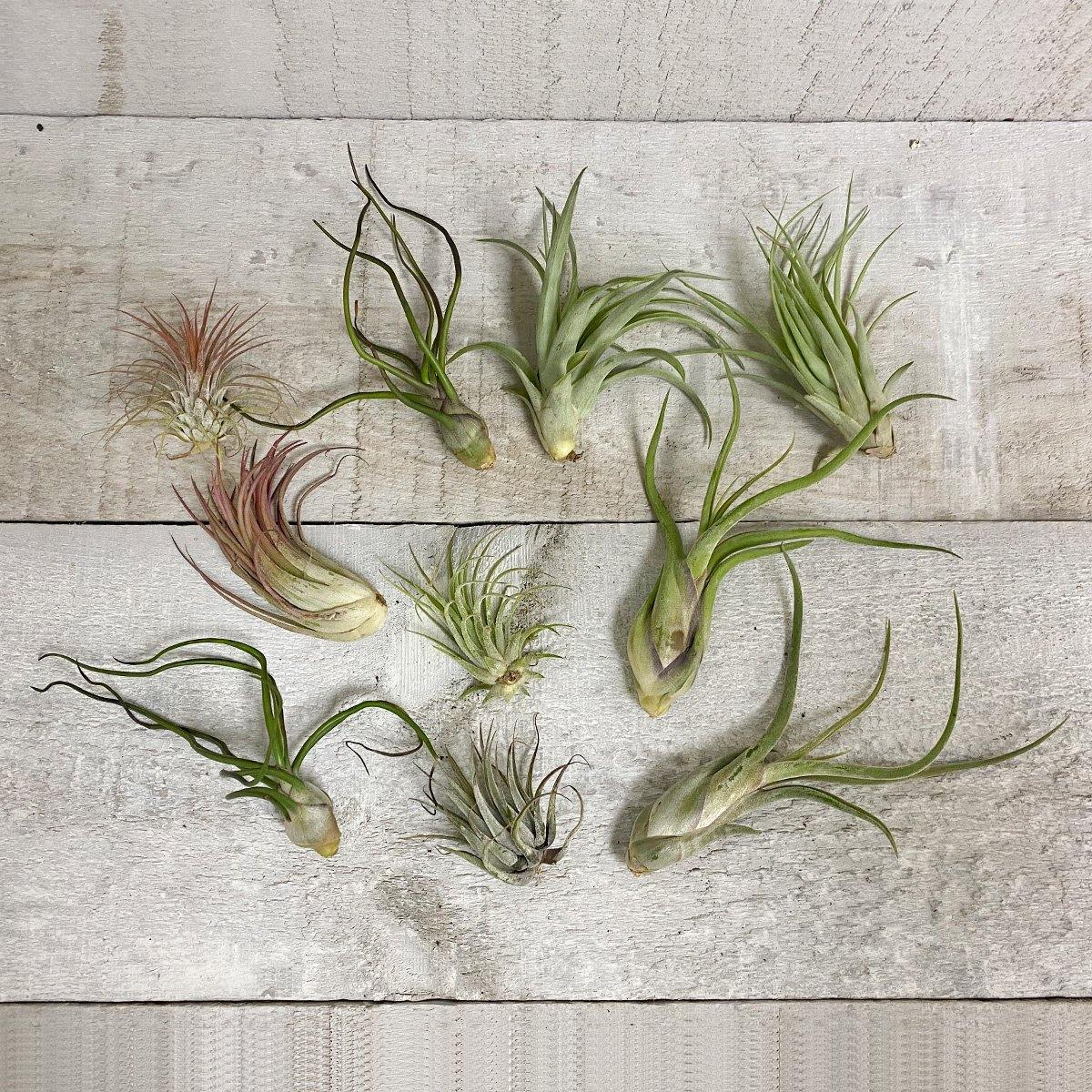 Deluxe Air Plant Bundle (Assorted) - Geoponics Inc