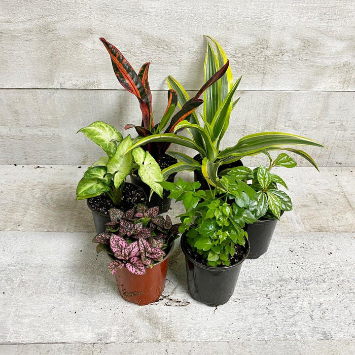 TROPICAL HOUSEPLANT BUNDLE (Multi-Packs) (Assorted)