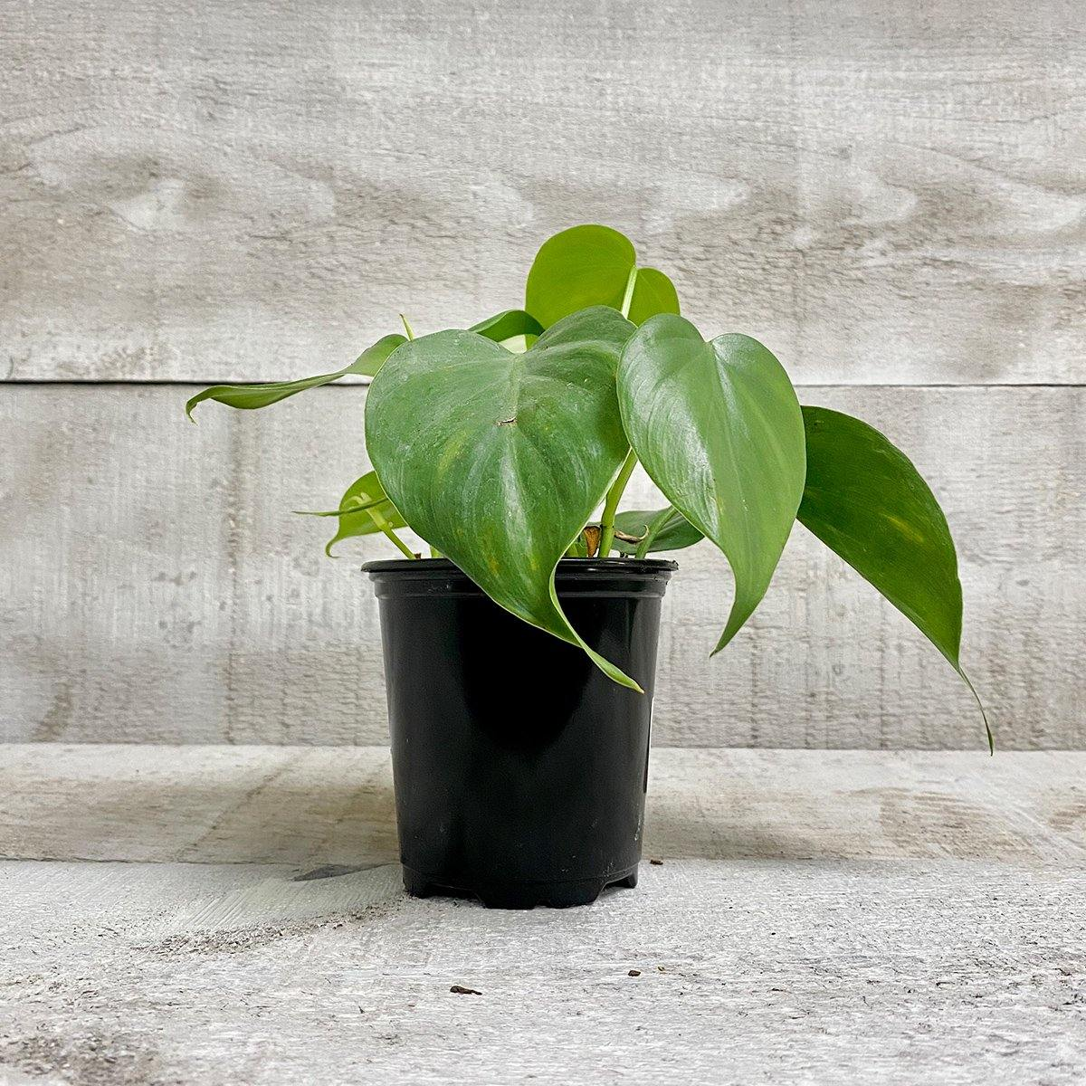 Philodendron Green - Geoponics Inc