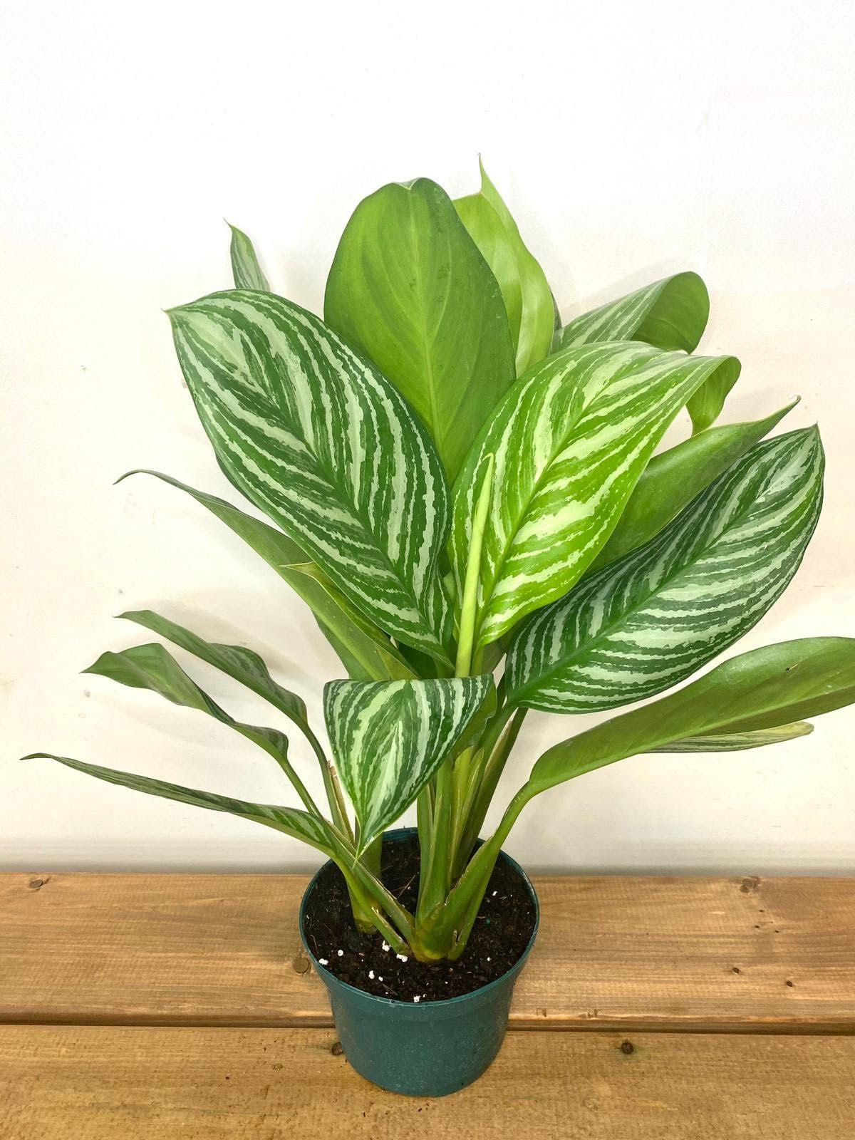 "Aglaonema Assorted 5"" Grower Pot - Geoponics Inc"