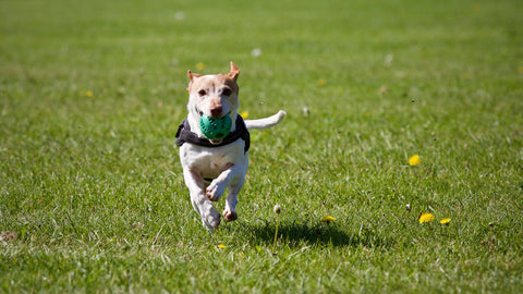 Dog running in a grass field with a ball in its mouth