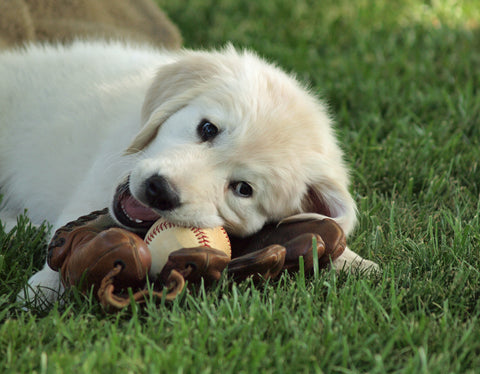 Puppy with baseball glove