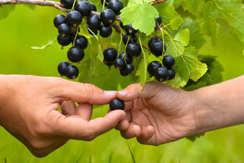 At Savar natural skin care, we absolutely love using black currant seed oil in our New Zealand skin care range.