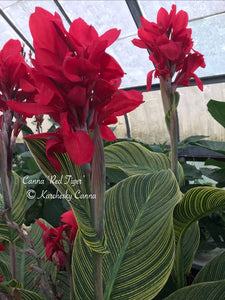 canna 'Red Tiger'