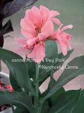 Load image into Gallery viewer, canna 'Mother's Day Pink'