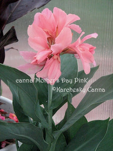 canna 'Mother's Day Pink'