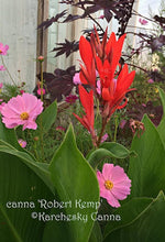 Load image into Gallery viewer, SEEDS: canna 'Robert Kemp'
