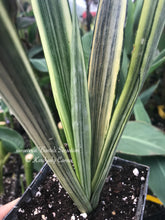 Load image into Gallery viewer, Sansevieria 'Bantels Sensation'