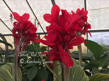 Load image into Gallery viewer, canna 'Red Tiger'