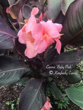 Load image into Gallery viewer, canna 'Baby Pink'