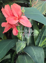 Load image into Gallery viewer, canna 'Pink Tiger'