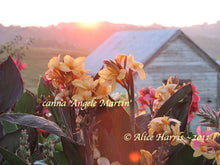 Load image into Gallery viewer, canna 'Angele Martin'