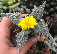 Load image into Gallery viewer, Faucaria tigrina 'Tiger Jaws'