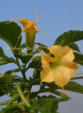 Load image into Gallery viewer, brugmansia 'Bert'