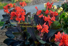 Load image into Gallery viewer, canna 'Black Jasper'