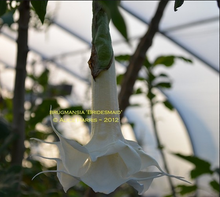 Load image into Gallery viewer, brugmansia 'Bridesmaid'
