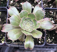 Load image into Gallery viewer, Aeonium Rubrolineatum