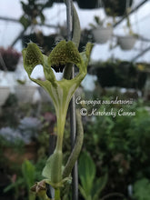 Load image into Gallery viewer, Ceropegia Saundersonii