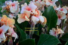Load image into Gallery viewer, canna 'Chelsea'