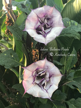 Load image into Gallery viewer, datura 'Ballerina Double Purple'