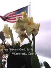 Load image into Gallery viewer, canna 'Dawn's Early Light'