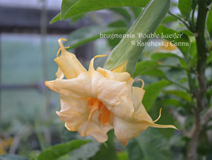 brugmansia 'Double Lucifer'