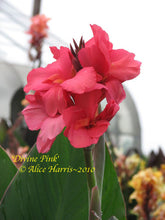 Load image into Gallery viewer, canna 'Divine Pink'