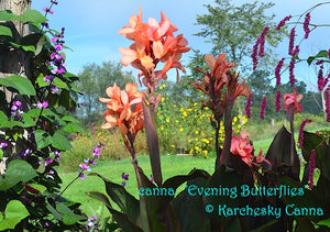 canna 'Evening Butterflies'