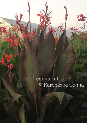 SEEDS: canna 'Intrigue'