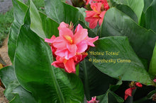 Load image into Gallery viewer, canna 'Hotsie Totsie'