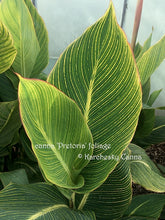 Load image into Gallery viewer, canna 'Pretoria'